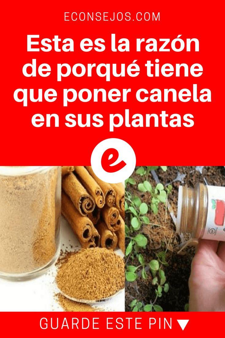 Canela para plantas | Esta es la razón de porqué tiene que poner canela en sus plantas | Esta es la razón de porqué tiene que poner CANELA A SUS PLANTAS.
