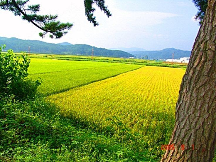 South Korea rice South Korea  samcheok
