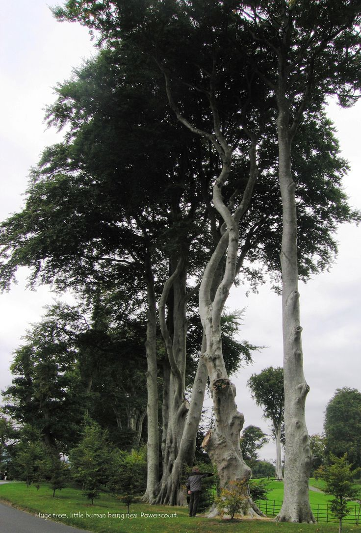 Ireland - beautiful huge trees in Wicklow