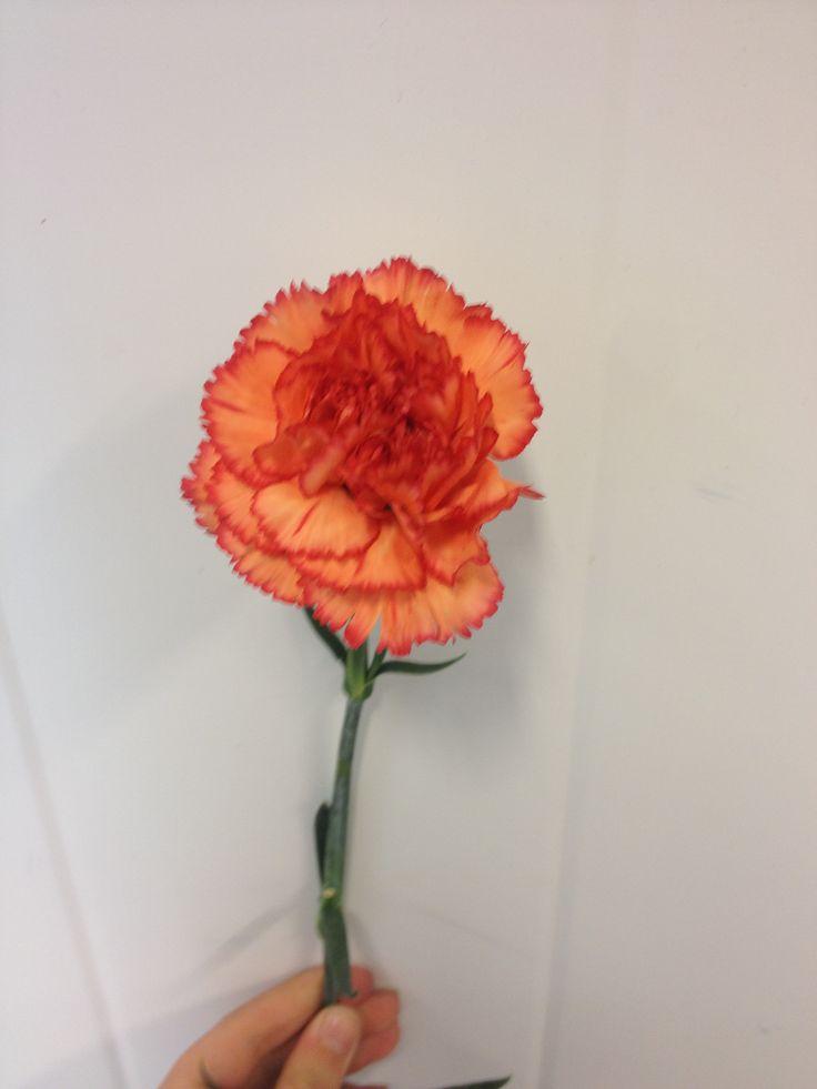 Dianthus - ... - Nellik - Orange