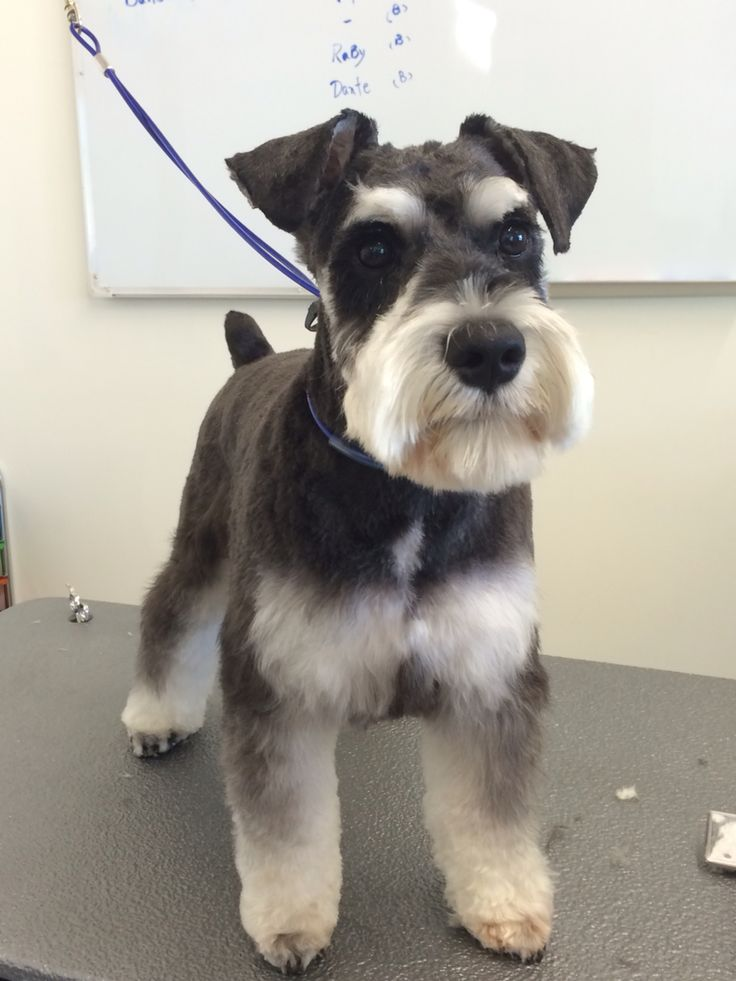 25+ best ideas about Schnauzer Grooming on Pinterest ...