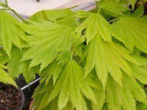 Japanischer Goldahorn 'Jordan' - Acer shirawasanum 'Jordan' - Zierahorn von Native Plants, http://www.amazon.de/dp/B0097OVUHW/ref=cm_sw_r_pi_awdl_xs_mjdlybFGJ5FD6
