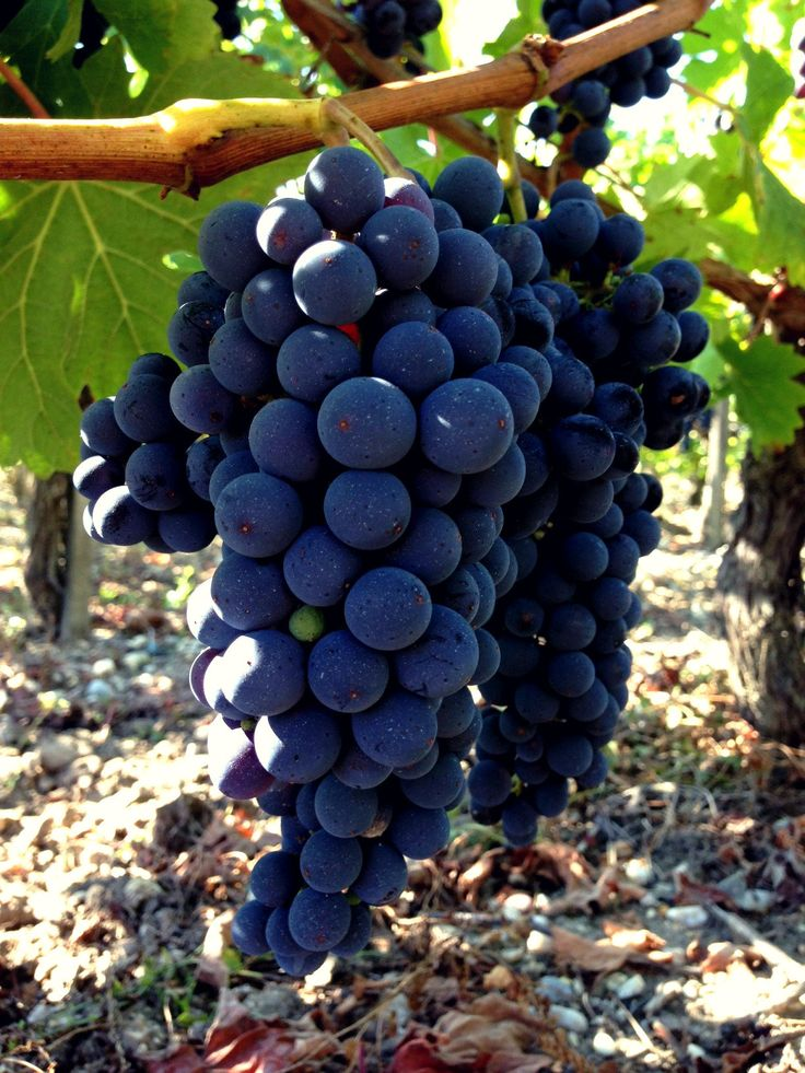 Beautiful cabernet from the 2015 vintage at Rollan de By Estate !