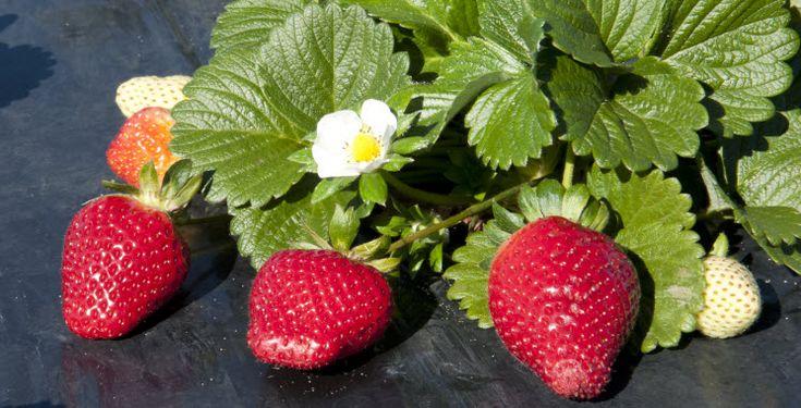 Ремонтантная клубника - сорта, фото, какая нужна почва, как сажать и ухаживать после плодоношения, посадка и пересадка, подкормки и удобрения