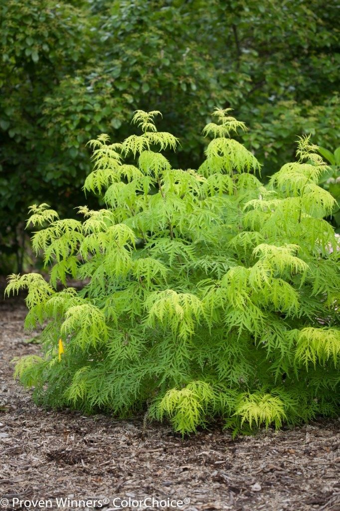 this award-winning plant is a bright burst of chartreuse in the garden, and is also one deer really do tend to ignore.