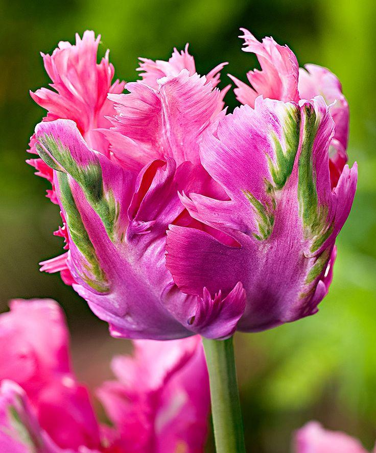 how to get tulip seeds