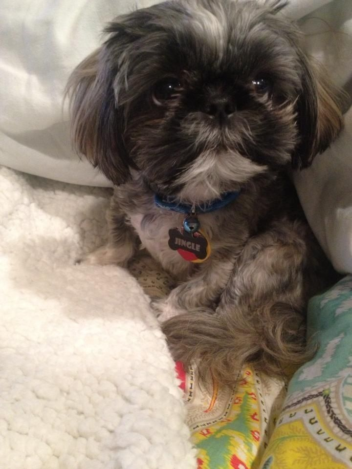 best shoo for shih tzu 338 best shih tzu images on pinterest shih tzus dog 476