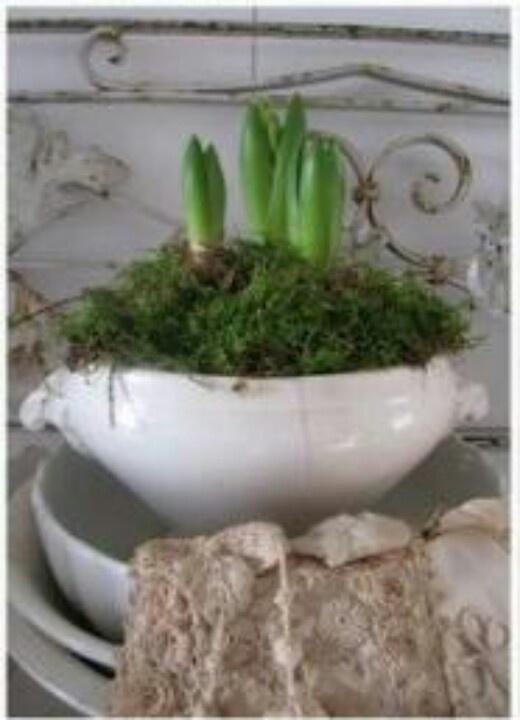 Hyacinten in soepterrine