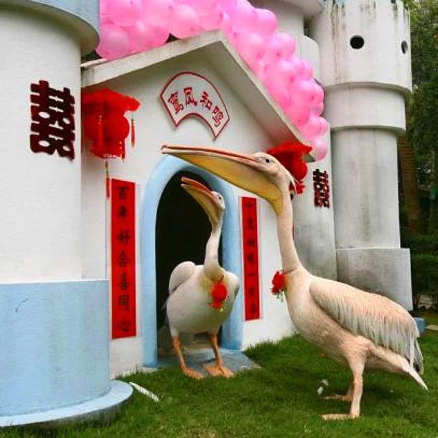 Pelikan çiftinin gelini için özel gelin odası bile yapılmış.