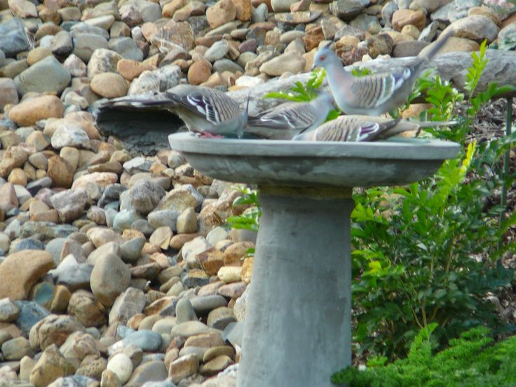 Crested Pigeon but a nuisance by their quantity.