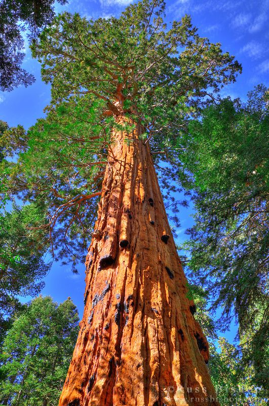 Giant Sequoias (Sequoiadendron giganteum), Trail of 100 Giants, Giant Sequoia National Monument, California USA