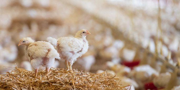 Alternative Hühnerzucht: Rettung für Bruder Hahn - taz.de