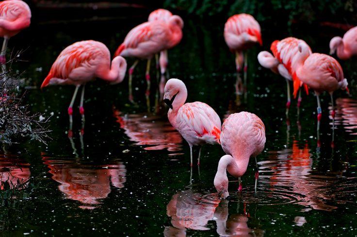 Flamingolar neden tek ayak üstünde durur?  Journal Biology Letters'da yayımlanan yeni araştırmaya göre bu güzel kuşlar daha az efor harcadıkları için tek ayak üstünde duruyor. Daha önceki araştırmalarda elde edilen flamingoların vücut ısısını dengelemek için bu yöntemi kullandıkları görüşü ise hala geçerliliğini koruyor.