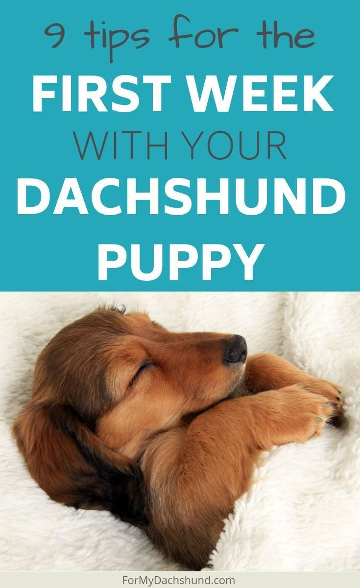 There Can Be A Lot To Learn When Raising A Dachshund Puppy Here