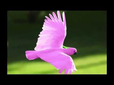 Pink Umbrella Cockatoo