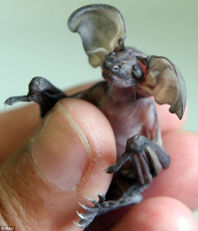 Cruella the long eared bat.    This is a picture of a 1 week old baby, brown long-eared bat, in the hand of a wildlife rescuer. It had to go thru rehabilitation, because her mother dropped her.