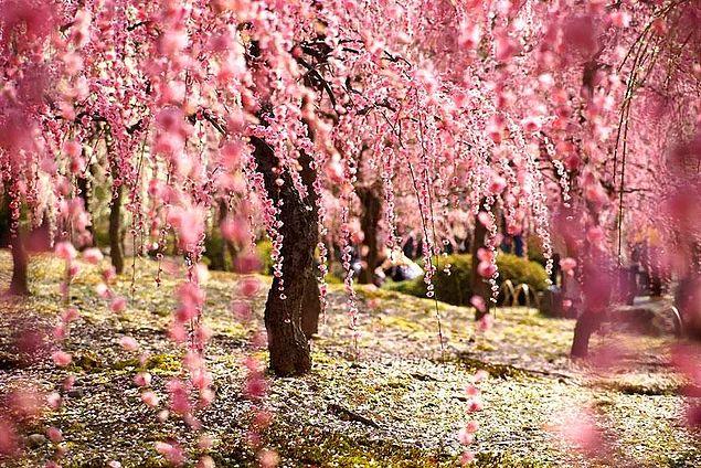 Japonya'da Kiraz Çiçekleri Açtı! İşte 2014'ün En Güzel 19 Fotoğrafı