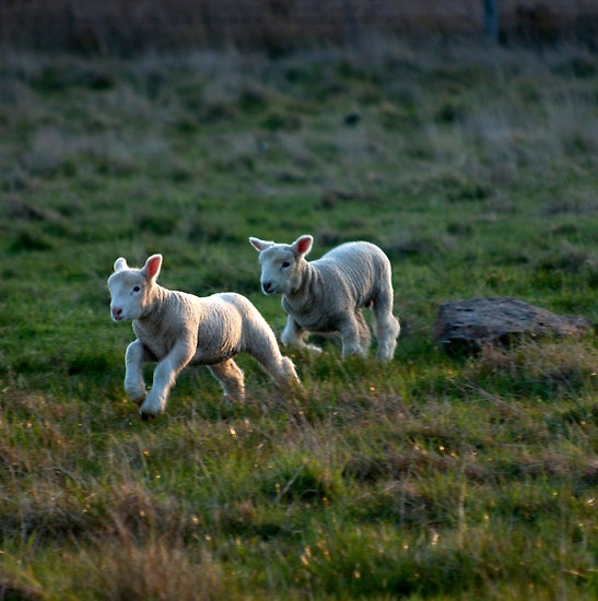 Untitled- Bouncing Lambs by claire-virgona