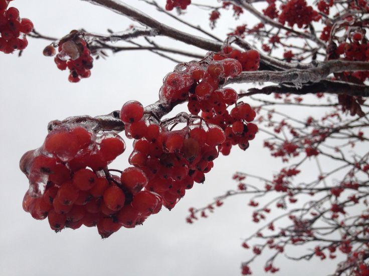 Rowan berries, finland