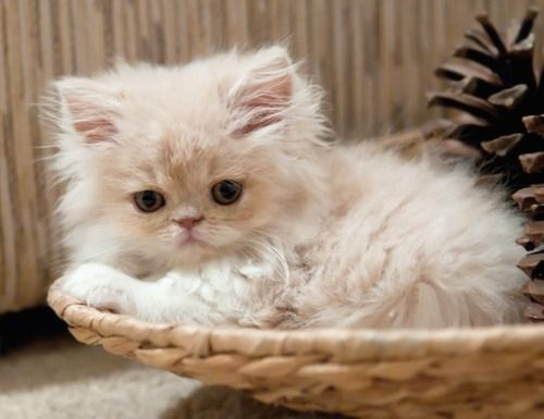 Fluffy Little Kitten
