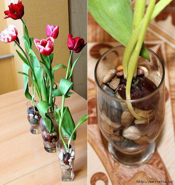 Выращивание тюльпанов в прозрачной вазе... фото #2