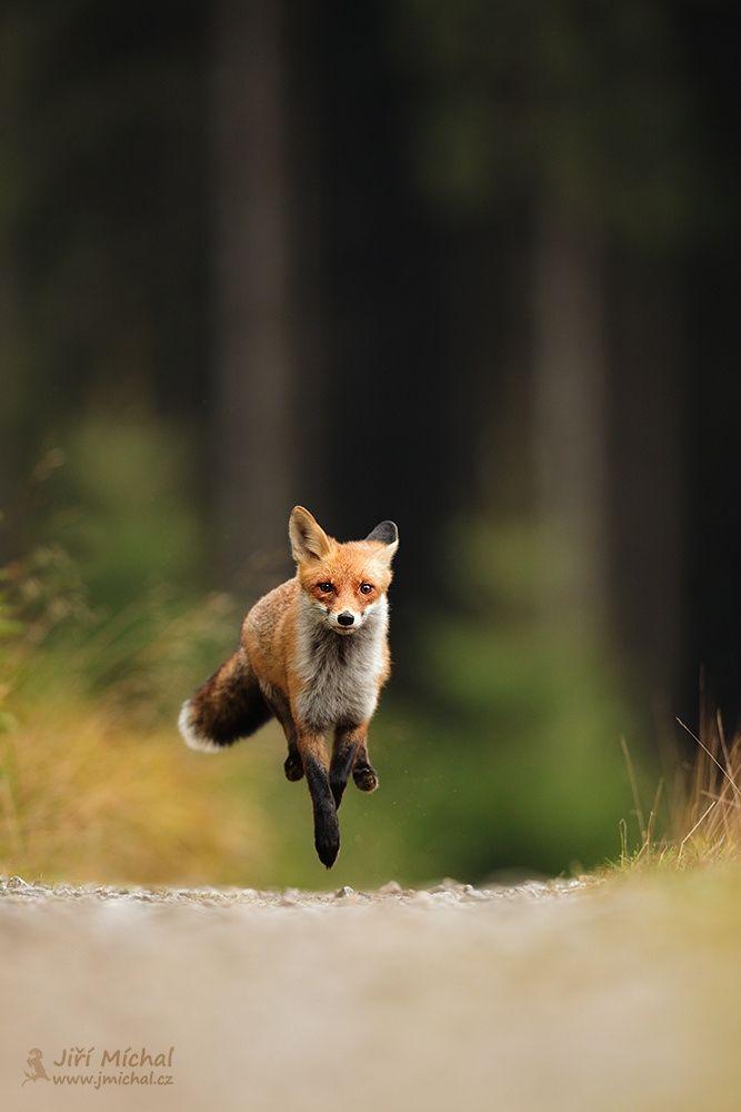 "Fox - See my website: <a href=""http://www.jmichal.cz"">www.jmichal.cz</a> info about photo: <a href=""http://1url.cz/mtNd4"">1url.cz/mtNd4</a>"