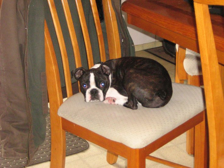 Tucker from the first litter thought he could take a nap on the kitchen chair.