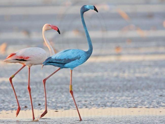 Bertie o flamingo azul envia fêmeas em um frenesi pelo WWT Slimbridge (De Stroud Notícias e Jornal)