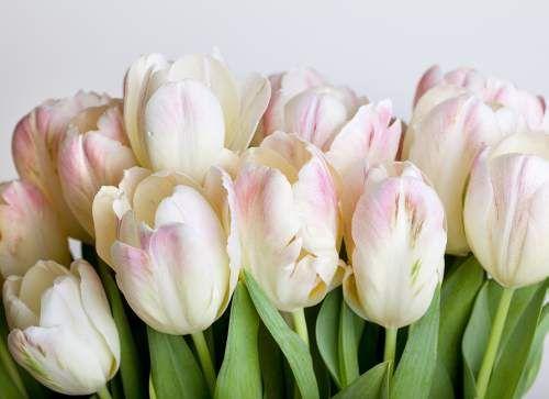Tulipany na fototapetę #fototapeta #fototapety