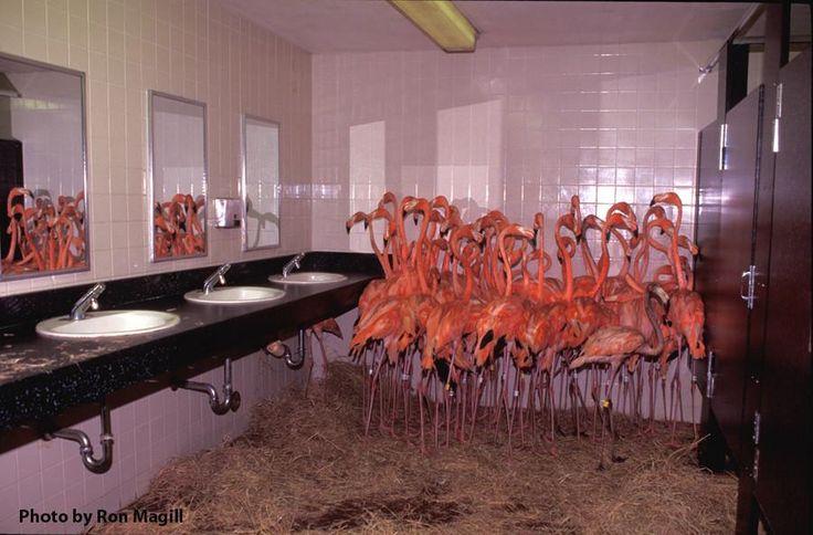 Flamingos in the bathroom at Miami Zoo. Hurricane Andrew, 1992