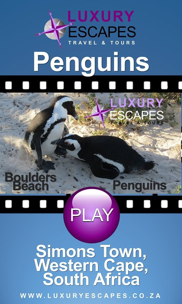 Join us as we visit a colony of African penguins at Boulders beach in Simons Town near Cape Town . Watch on https://youtu.be/Mx2UP2CQzg4 . Enjoy!