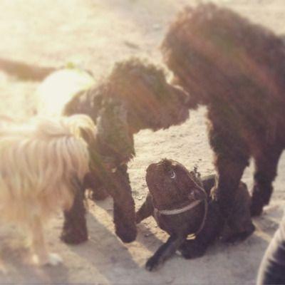 Poppy has her funny face on!  #frenchie #frogdog #frenchyfanatics #frenchbulldog #frenchbulldogpuppy #frenchiefanatics #batdog #batpig #PoppyPop #hundepark #dogpark #friends #puppy #puppysocialising