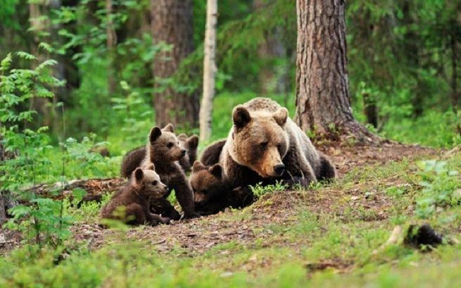 L'animale a Ferragosto aveva ferito un uomo nei boschi del Trentino, per proteggere i propri cuccioli Trento - L'orsa Danizaè morta durante la cattura. A metà agosto aveva aggredito un uomo in cer...