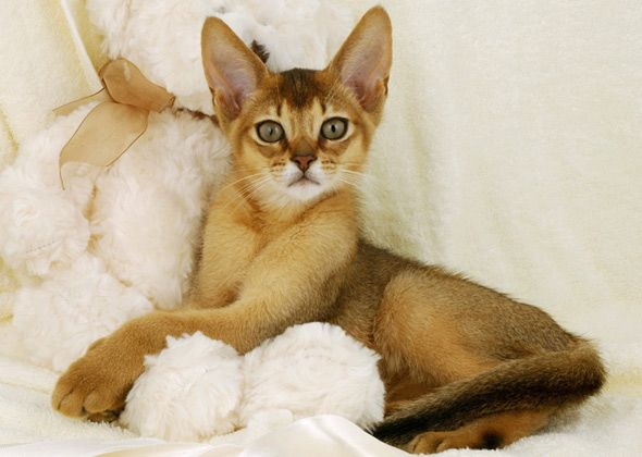 Looking for a cat who will make you laugh? From the silly Abyssinian to the humorous Sphynx, these cat breeds will keep you entertained with their goofy antics.