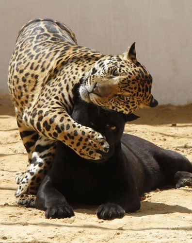 Lolo, a black jaguar, plays with Ward, her 14-month-old spotted cub, inside their enclosure at the zoo in Amman, Jordan, May 12, 2011.