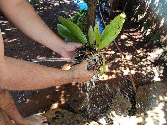 Orquídeas-como-cuidar-plantar