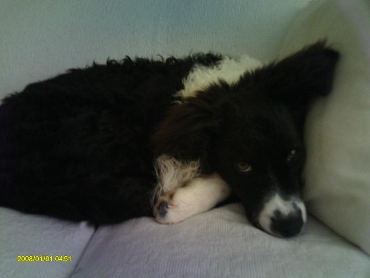 My sweet Teddy Bear...Border Collie Cocker Spaniel Poodle mix