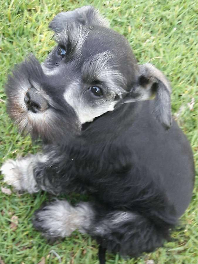 Miniature Schnauzer Puppies Are Available From Time To Time From