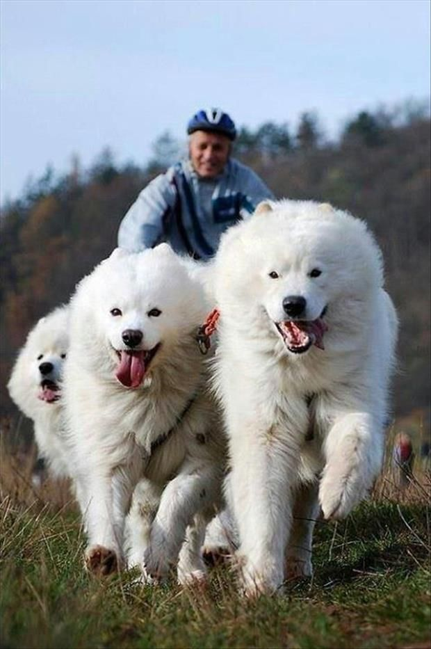 Great Pyrenees Big White Snow Dog