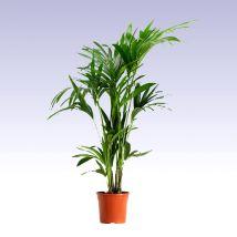 Kentia, kencia pálma 100-120 cm 24 cs