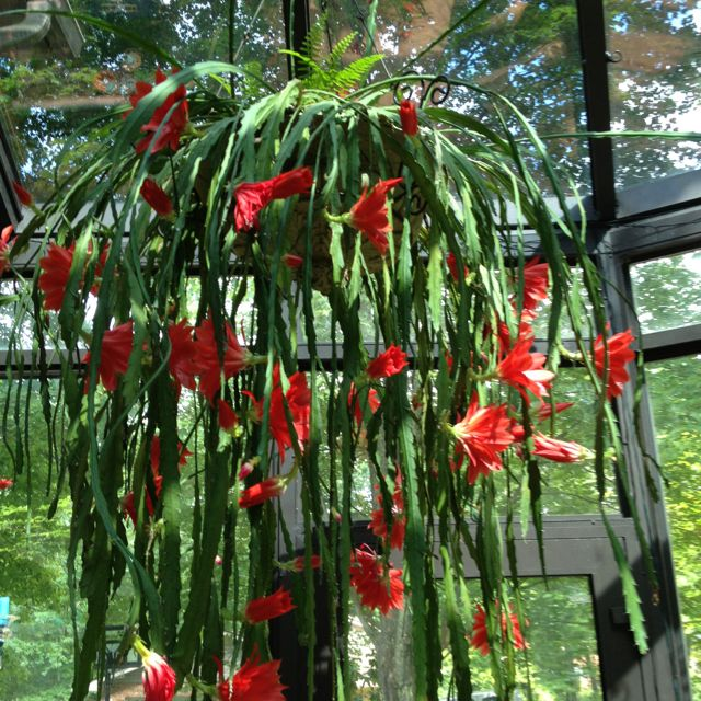 Epiphyllum orchid cactus botany pinterest cactus - Plantas colgantes de exterior ...