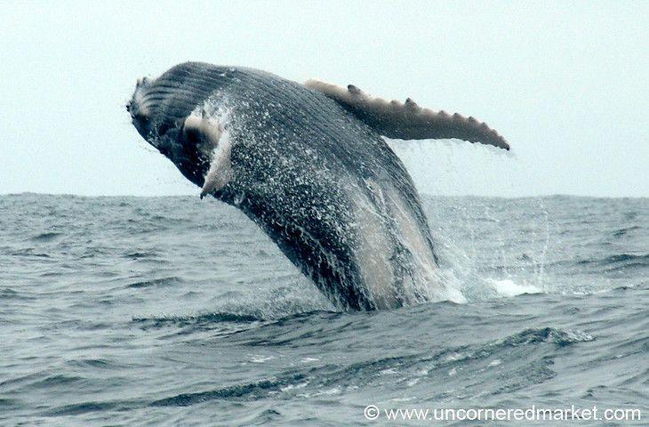 Humpback Whale Migration Qoute: 30 Best Images About San Clemente Ecuador Real Estate On