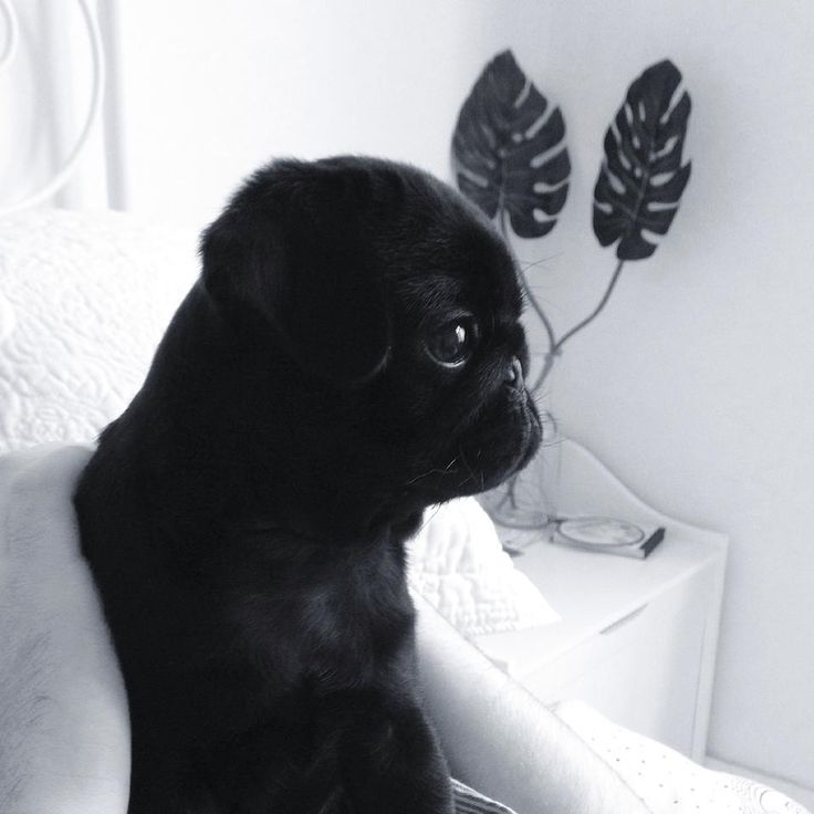 Black Pug Puppy - Quentin at 8 weeks old.