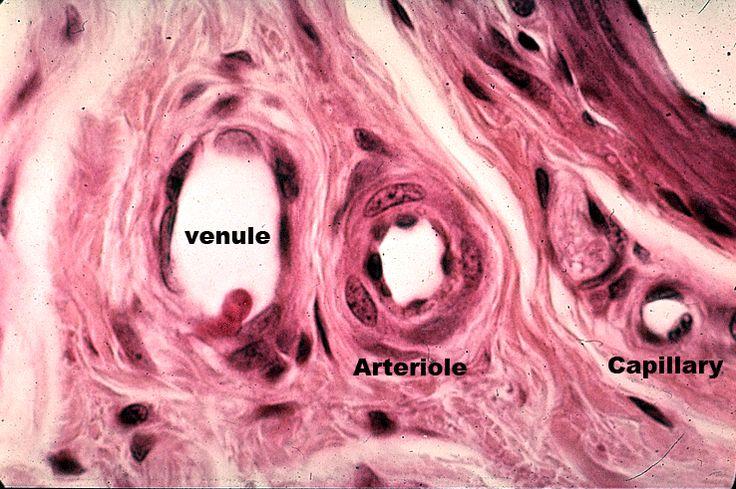 Venule - Arteriole - Capillary | Histology - Vascular ...