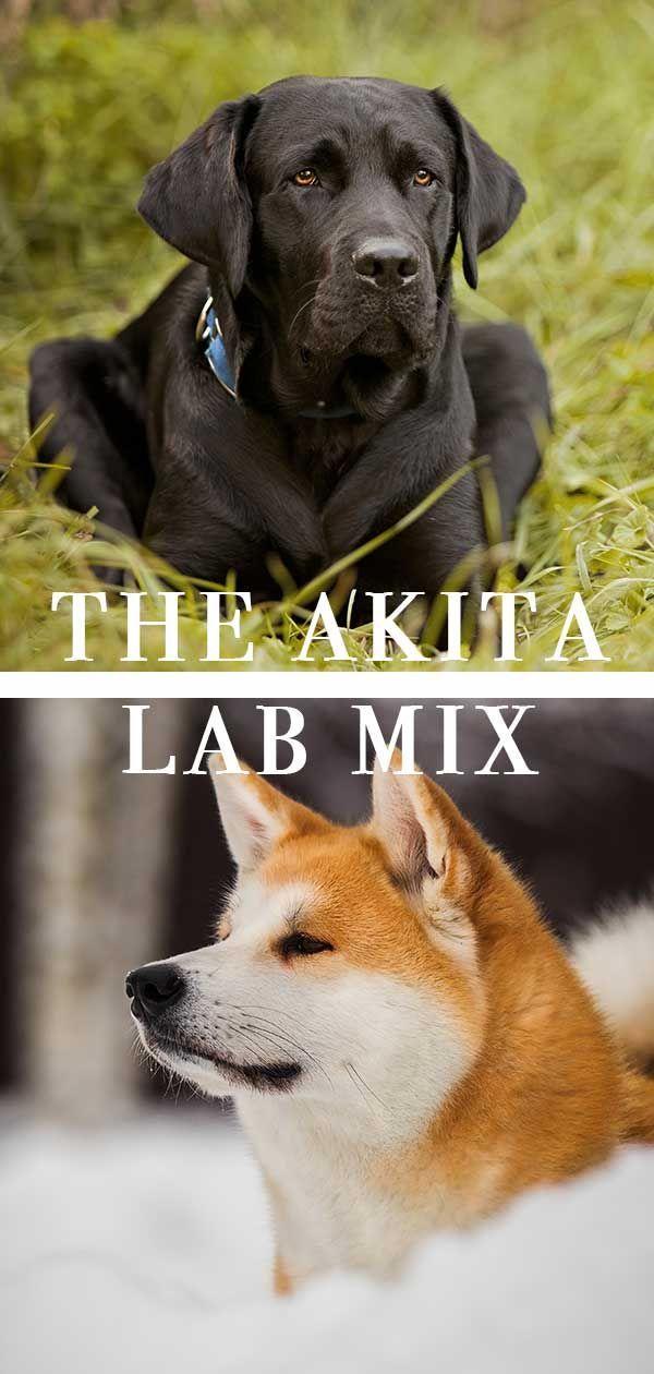 Akita Labrador Mix Labradorretriever Labrador Mix Lab Mix Puppies Labrador Retriever