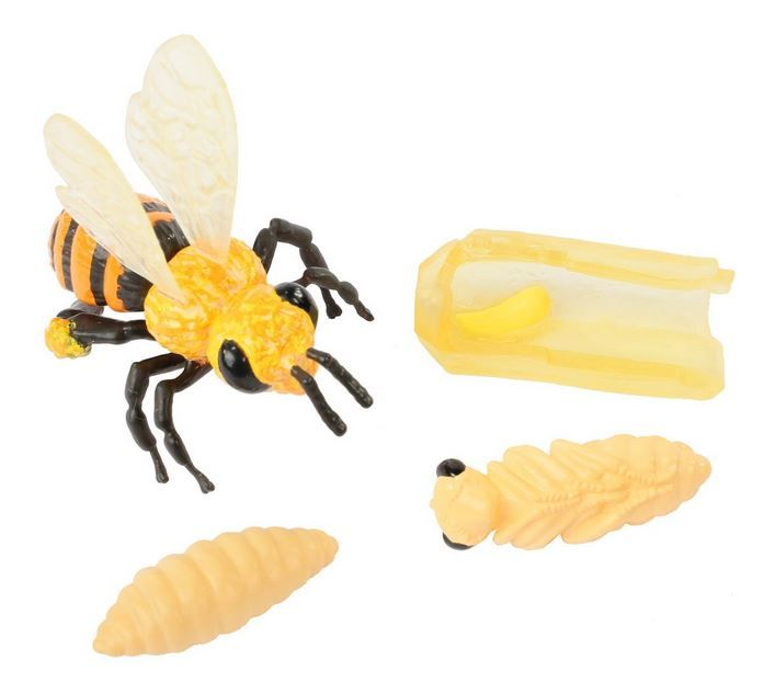 www.malinowyslon.pl  Zakwitły kwiaty na łąkach, pojawiły się pierwsze pszczoły.   Model z cztery stadia rozwojowe pszczoły ... jajko - larwa - poczwarka - pszczoła . Wykonane z wysokiej jakości tworzywa sztucznego i wiernych kolorach. Nadaje się także jako narzędzie szkoleniowe. Odpowiedni dla dzieci od 4 lat