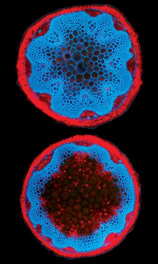 Cross sections of stems from two Arabidopsis plants