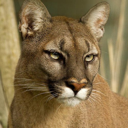 Mountain lion face - photo#38