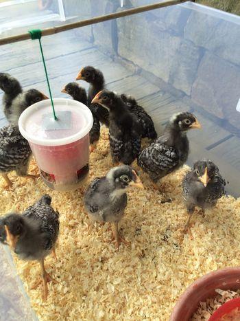 DIY chick feeder