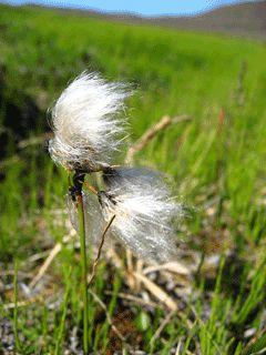 Eriophorum angustifolium or Cotton Grass or Tall cottongrass